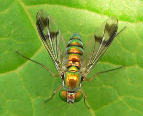 Longlegged fly - Condylostylus - female