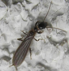 Black Webspinner - Oligotoma nigra - male
