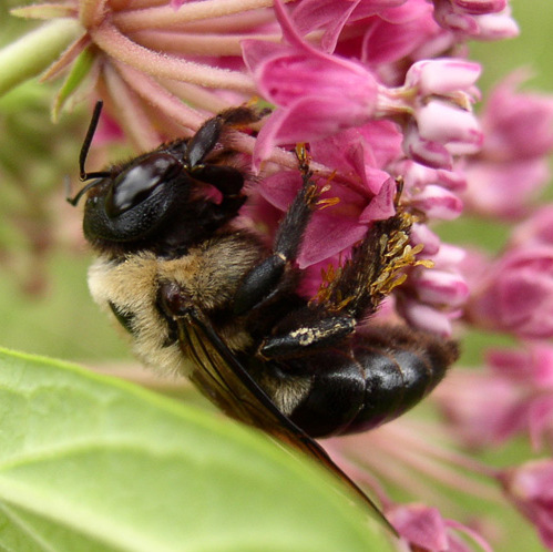 Carpenter bee with pollinia - Xylocopa virginica - female
