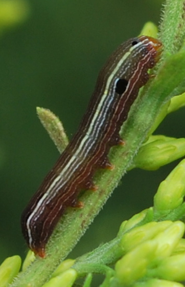 Yellow striped armyworm on gray goldenrod - Spodoptera ornithogalli
