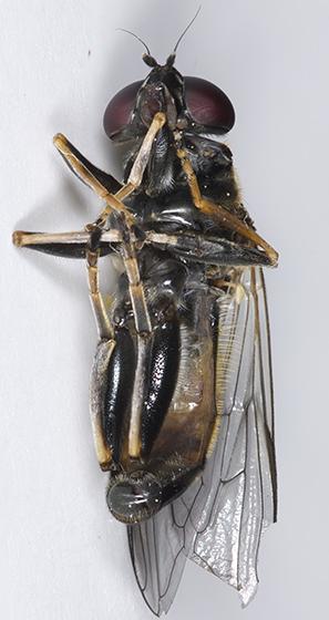 Syrphid Fly - Xylota