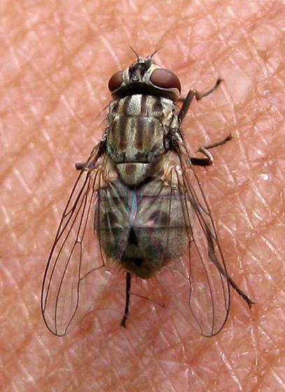 Biting Fly - Stomoxys calcitrans