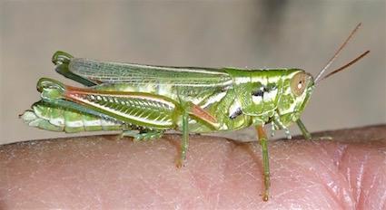 Unidentified grasshopper - Hesperotettix viridis - female