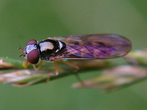 Syrphid Fly - Melanostoma mellinum - female