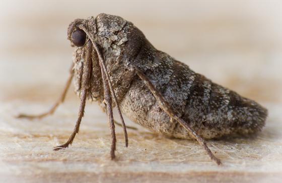 Wingless Moth? - female