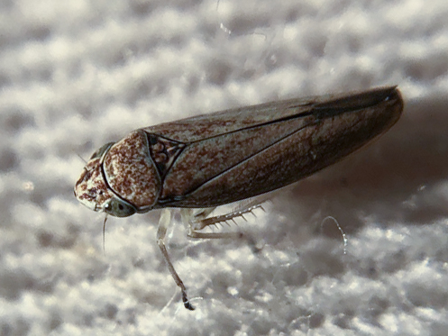 Strange Neokolla - Graphocephala