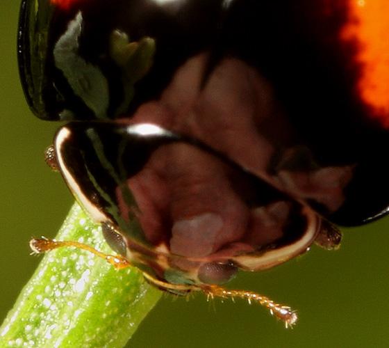 Coleoptera - Olla v-nigrum