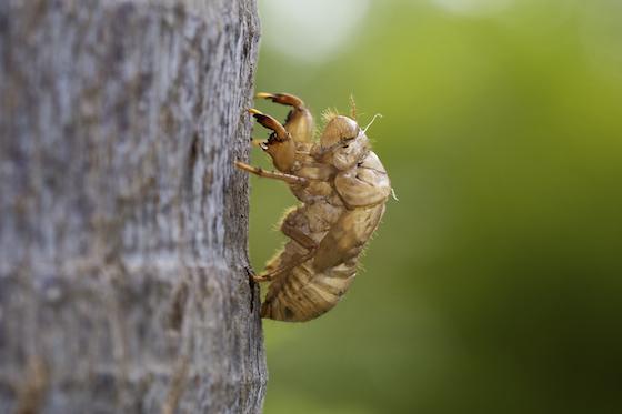 Cicada Skin - Diceroprocta biconica