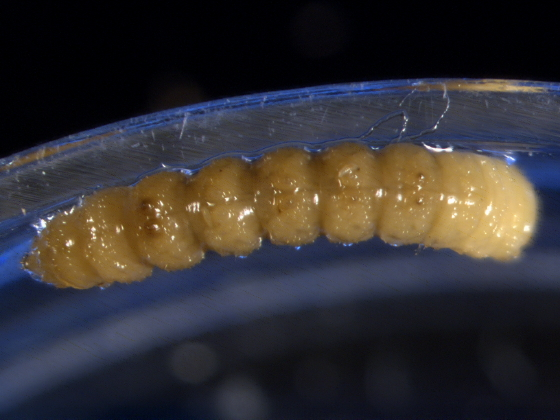 Mordellidae, larva - Mordellistena