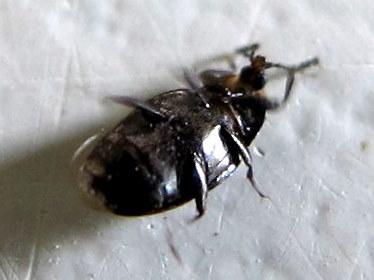 wee beetle