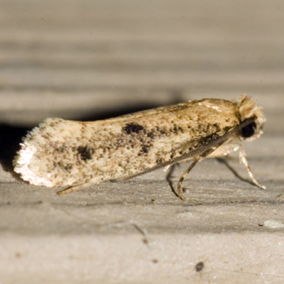 Clothes Moth - Hodges #0412  - Niditinea orleansella