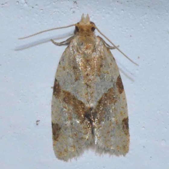 Unknown small moth - Clepsis peritana
