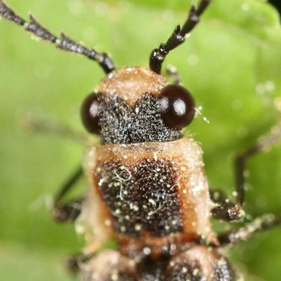 Spiny thorax beetle - Denticollis denticornis