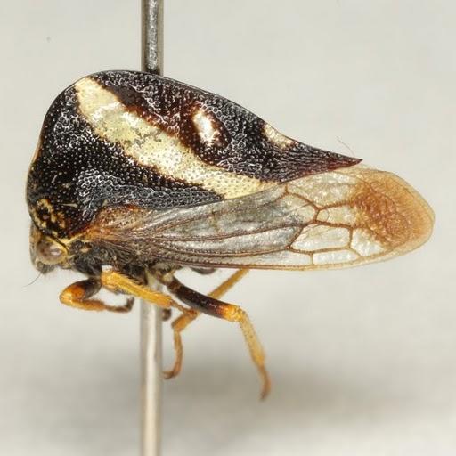 Smilia camelus (Fabricius) - Smilia camelus - male