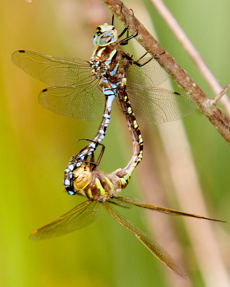 Lance-Tipped Darners mating - Aeshna constricta - male - female