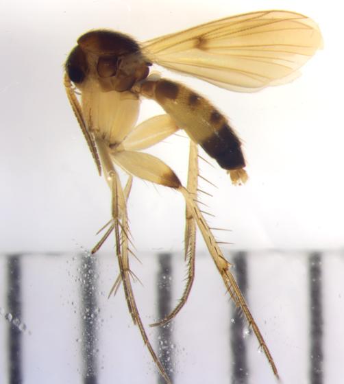 Mycetophilidae, lateral - Zygomyia - male