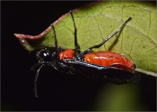 Poison Ivy Sawfly?
