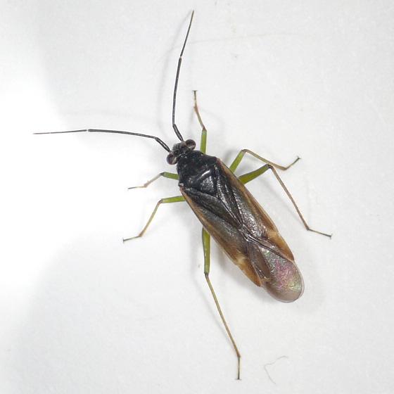 Orthotylus from Oregon (1) 10.07.16 - Orthotylus