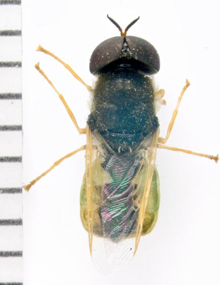 Stratiomyidae, dorsal - Odontomyia virgo - male