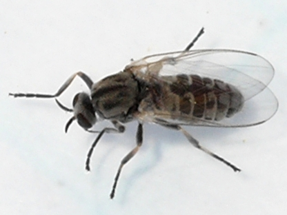 fly - Simulium