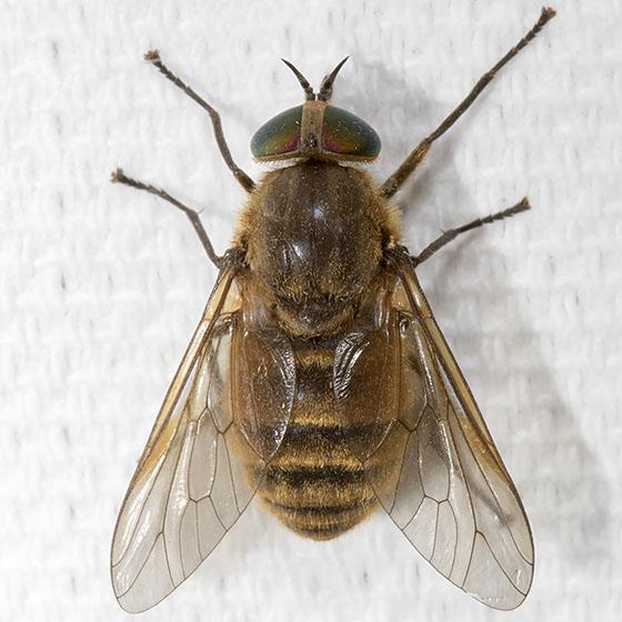 Large Fly - Stonemyia tranquilla - female