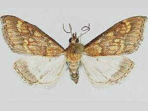 Pyrausta andrei - Hodges #5063 - Pyrausta andrei - male