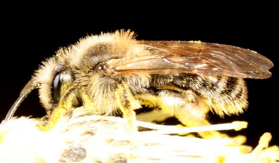 Andrena on willow flower - Andrena - female