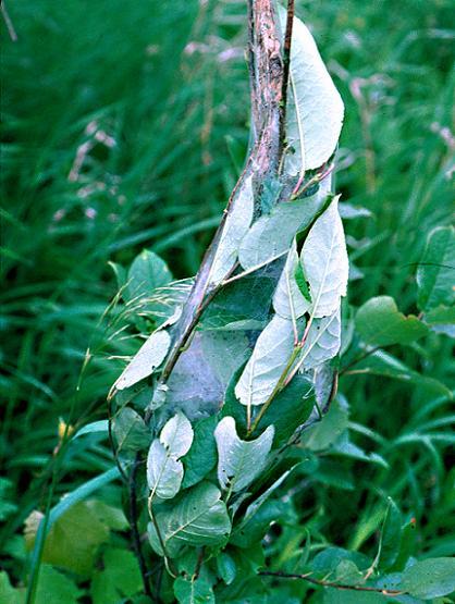 Ugly Nest Caterpillar Nest & Leaves - Archips cerasivorana