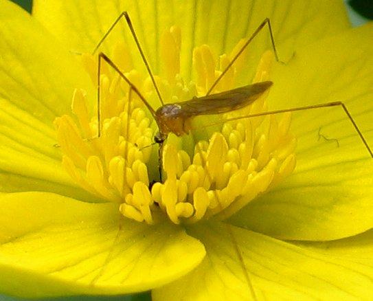 crane fly? - Limonia communis