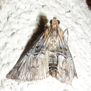 Moth #08-215 - Toripalpus trabalis
