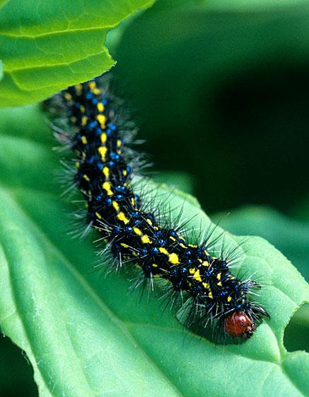 Gnophaela vermiculata caterpillar - Gnophaela vermiculata