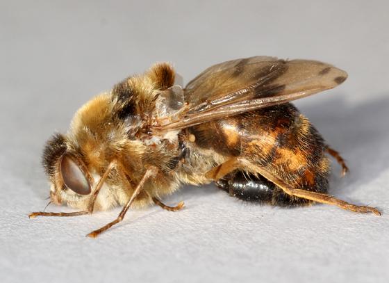 horse bot fly - Gasterophilus intestinalis - female