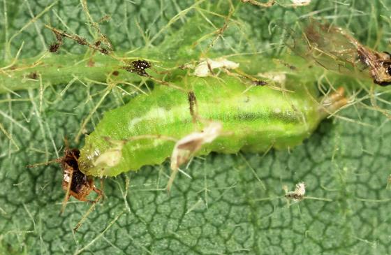 syrphidae larva