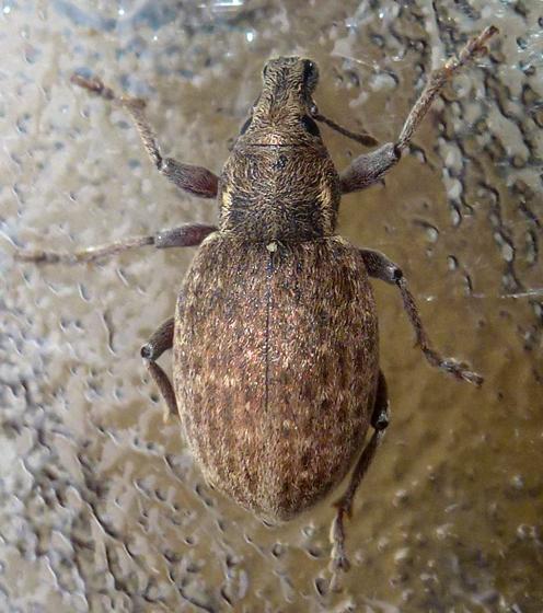 Trichalophus simplex