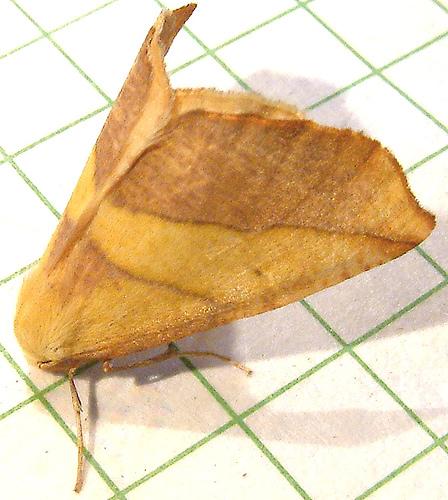 227 Sicya crocearia 6911 - Sicya crocearia - male