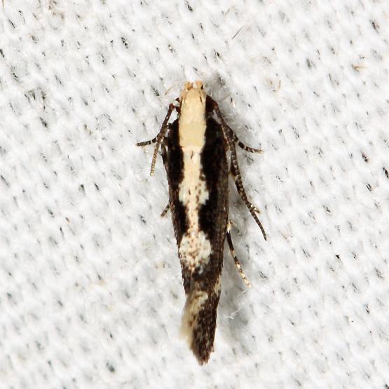 moth - Agnippe prunifoliella