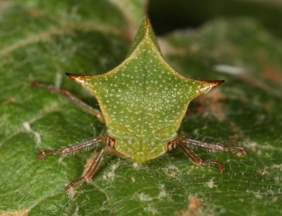 hopper 60 - Stictocephala ancora