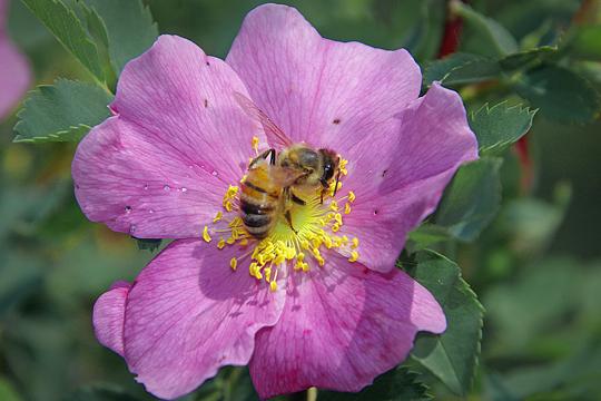 Bee on wild rose - Apis mellifera