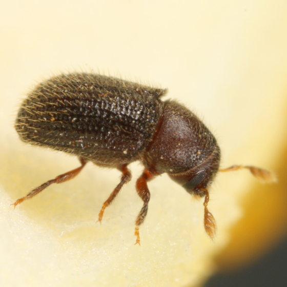 Smallish beetle - Phloeotribus liminaris