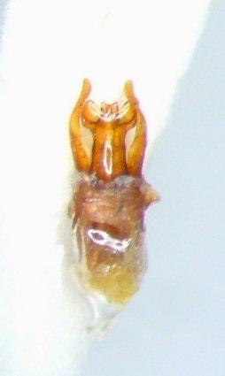 Trox foveicollis - male