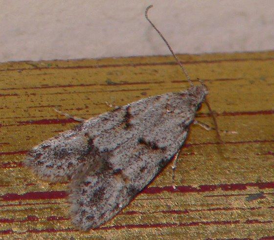 Moth - Symmoca signatella