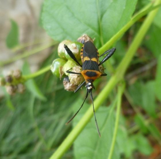 Leaf Footed Bug - Leptoglossus ashmeadi