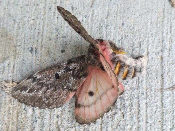 Syssphinx species? - Coloradia pandora - male
