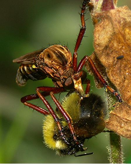Nuclear Bug and prey - Diogmites basalis