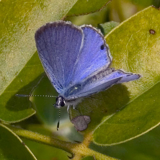 Miami Blue - Cyclargus thomasi - male