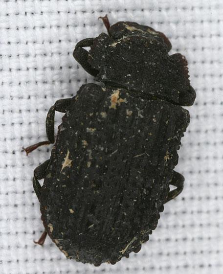 Trogidae 1416 - Bolitophagus corticola