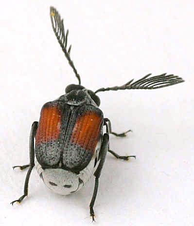 Beetle - Megacerus discoidus