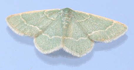 An  Emerald -? - Chlorochlamys phyllinaria - female