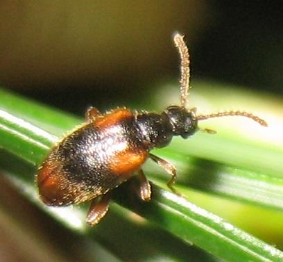 Beetle on White Pine - Zonantes