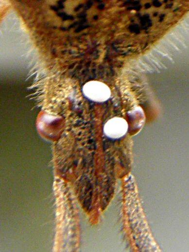Weird, white blobs on head of western conifer seed bug